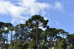 Araucaria tree. Typical tree of the city Campos do Jordao in Sao Paulo State, araucaria, in a beauty blue day Stock Photography