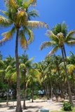 Tall coconut palm trees in Cuba. A typical tropical relaxing scenery near the hotel - several palm trees at the background of a blue sky with white fluffy clouds Royalty Free Stock Images