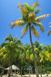 Tall coconut palm trees in Cuba. A typical tropical relaxing scenery near the hotel - several palm trees at the background of a blue sky with white fluffy clouds Stock Photography