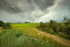Typical Tuscan landscape with green vineyards, olive trees and flowers in the foreground. Italy royalty free stock image
