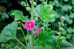 Typical Ukrainian mallow flowers. The bee is flying to collect h. Oney from the flowers of the mallow Royalty Free Stock Photos