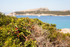 Myrtle plant - sardinia, italy. Typical vegetation of sardinia, myrtle plant royalty free stock images