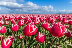 Typical vibrant Dutch tulip fields in the spring closeup Royalty Free Stock Photo