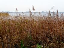 Typical view of Dutch lake with reed covered shores royalty free stock photos