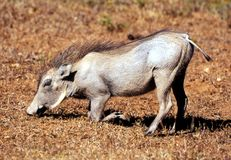 Typical view of a Warthog feeding in Kruger National Park. This member of the wild pig family spread around the savannas and woodlands of Africa that includes Royalty Free Stock Images