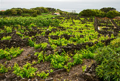 Typical vineyard at Azores Royalty Free Stock Photo