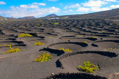 A typical vineyard in lanzarote island Stock Photos
