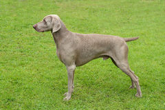 Typical Weimaraner Short-Haired dog Royalty Free Stock Photo