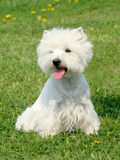 Typical West Highland White Terrier in the garden Royalty Free Stock Images