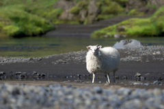 Typical white Icelandic sheep near the river, Iceland Royalty Free Stock Image