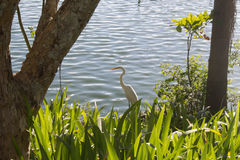 Typical white imperial heron of Brazil Royalty Free Stock Photography
