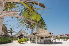Tropical beach bar and resort with coconuts. A typical white sands beach resort with restaurant and bar and a coconut palm tree with nuts in front under the Stock Photos
