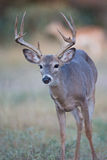 Typical whitetail buck portrait Stock Photos