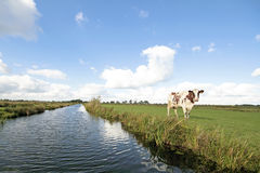 Typical wide dutch landscape. With meadows, water, cloudscapes and cows in the Netherlands Royalty Free Stock Image