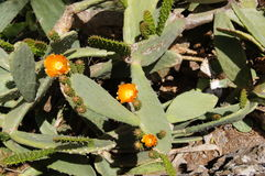 Typical wild plant canaria stock photo