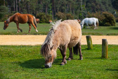 Typical wild pony in New Forest National Park Stock Image