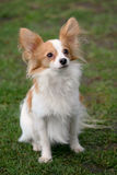 Typical Young Papillon dog  in the garden Stock Photo