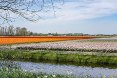 The typically Dutch bulb fields around the town of Lisse with orange and Red tulips and purple and pink hyacinths.  royalty free stock photos