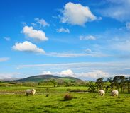 The typically English countryside landscape with sheep pasturing on green grass, Lake District National Park, Cumbria, England, UK royalty free stock photography