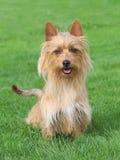 Typisch Australisch Terrier in de tuin Stock Fotografie
