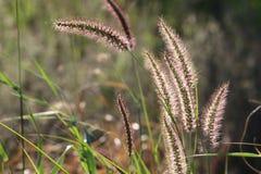 Typisch gras in weiden van Namibië royalty-vrije stock afbeeldingen