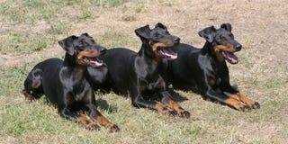 Typisch Manchester Terriers op een groen grasgazon royalty-vrije stock foto's