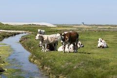 Typische französische Landschaft mit Kühen in der Wiese nahe dem Wasser, an einem schönen sonnigen Tag Mit der Kuhreflexion auf d Lizenzfreies Stockbild