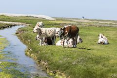 Typische französische Landschaft mit Kühen in der Wiese nahe dem Wasser, an einem schönen sonnigen Tag Mit der Kuhreflexion auf d Stockfotografie