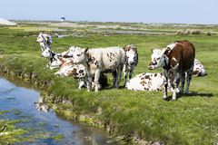 Typische französische Landschaft mit Kühen in der Wiese nahe dem Wasser, an einem schönen sonnigen Tag Mit der Kuhreflexion auf d Lizenzfreies Stockfoto