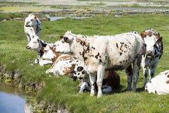 Typische französische Landschaft mit Kühen in der Wiese nahe dem Wasser, an einem schönen sonnigen Tag Mit der Kuhreflexion auf d Lizenzfreie Stockfotos