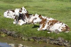 Typische französische Landschaft mit Kühen in der Wiese nahe dem Wasser, an einem schönen sonnigen Tag Mit der Kuhreflexion auf d Stockbilder