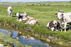 Typische französische Landschaft mit Kühen in der Wiese nahe dem Wasser, an einem schönen sonnigen Tag Mit der Kuhreflexion auf d Stockfoto