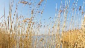 Typische niederländische Landschaft mit Schilf entlang dem Wasser Lizenzfreies Stockfoto