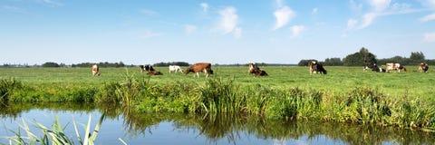 Typische niederländische Panoramalandschaft mit Kühen, Wiese, Bäumen, blauem Himmel und weißen Wolken Lizenzfreie Stockfotos