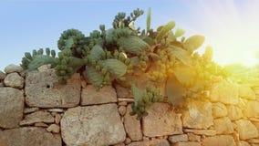 Typische Opuncia-cactusstruik met vruchten van dichtbij de omheining Stock Afbeeldingen