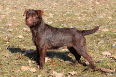 Patterdale Terrier /Wire/ in het park Royalty-vrije Stock Foto's