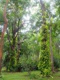 Typische tropische wildernisinstallatie met groene bladeren onder zonlicht die en grote boom in aard beklimmen behandelen Royalty-vrije Stock Fotografie