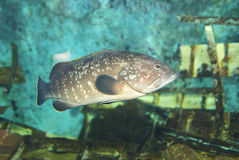 Typische Vissen in Middellandse Zee Stock Afbeeldingen