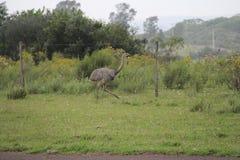 Typische vogel van zuidelijk Brazilië stock foto