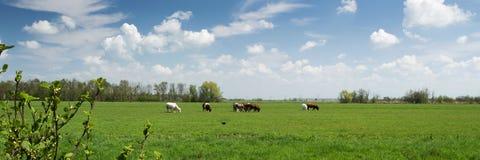 Typisches niederländisches Landschaftspanorama mit Kühen, Wiese, Bäumen, blauem Himmel und weißen Wolken Stockbild