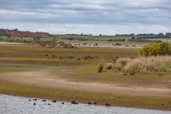 Typisk australiskt landskap med jordbruksmarker, gräs och träd Royaltyfria Bilder
