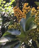 Typisk brasiliansk frukt i klungor royaltyfria bilder