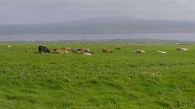 Typisk för Irland - kor som gräs på sned bollgräsplanfälten lager videofilmer