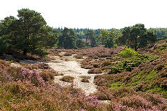 typisk holländsk heath för dyner royaltyfri bild
