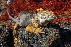 Typisk landleguan av Isla Plaza Sur, Galapagos fotografering för bildbyråer