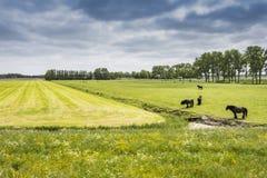 Typisk landskap av sned fält i Holland edamNederländerna arkivbild
