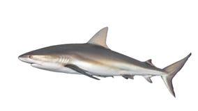 Typisk sida-på sikt av hajen royaltyfria foton
