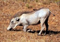 Typisk sikt av en vårtsvin som matar i den Kruger nationalparken royaltyfria bilder