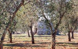 Typiska Apulian som utgjutas i den olivgröna fruktträdgården, Italien Royaltyfri Foto