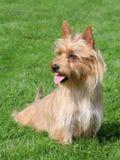 Typiska australiska silkeslena Terrier i trädgården Fotografering för Bildbyråer